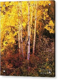 Aspens In Autumn Acrylic Print