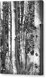 Aspens In B And W Acrylic Print