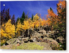 Aspens In Fall Acrylic Print
