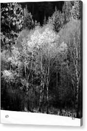 Aspens In Morning Light Bw Acrylic Print