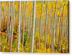 Aspens In The Colorado Rockies Acrylic Print