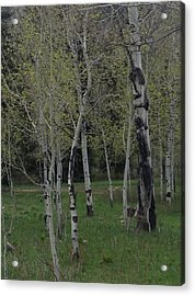 Aspens In The Spring Acrylic Print by Shawn Hughes