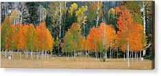 Aspens And Meadow-pan Acrylic Print