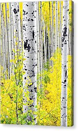 Aspens   Acrylic Print by The Forests Edge Photography - Diane Sandoval