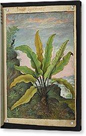 Asplenium Scolopendrium Acrylic Print by British Library