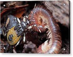 Assassin Bug Eating Millipede Acrylic Print by Melvyn Yeo