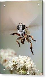 Assassin Fly Leaving Buckwheat Blossoms Acrylic Print by Robert Jensen