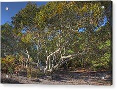 Asseteague Island Oak Acrylic Print by Greg Vizzi