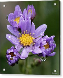 Aster Drops Acrylic Print by Michael Friedman