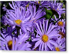 Acrylic Print featuring the photograph Asters After The Rain by Scott Lyons