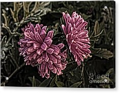 Acrylic Print featuring the photograph Asters In The Garden by Marjorie Imbeau