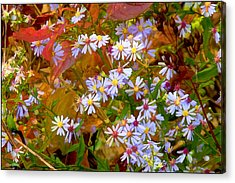 Asters Acrylic Print by Ron Jones