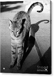 Aswan Cat Acrylic Print