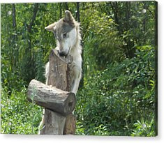 At Wolf Hollow Acrylic Print by Catherine Gagne