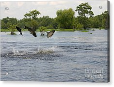 Atchafalaya Swamp Jumping Fish Acrylic Print