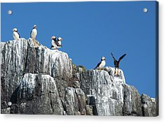 Atlantic Puffin Acrylic Print by Ashley Cooper
