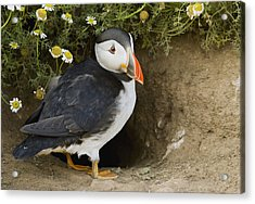 Atlantic Puffin At Burrow Skomer Island Acrylic Print by Sebastian Kennerknecht