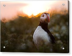 Atlantic Puffin At Sunrise Skomer Acrylic Print by Sebastian Kennerknecht
