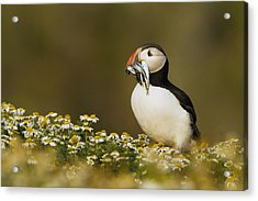 Atlantic Puffin Carrying Fish Skomer Acrylic Print by Sebastian Kennerknecht