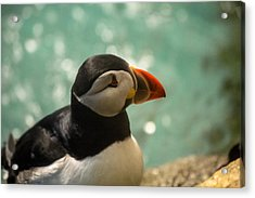 Atlantic Puffin Acrylic Print by Eti Reid