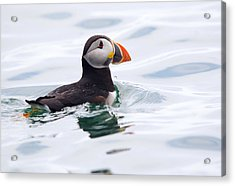 Atlantic Puffin. Acrylic Print