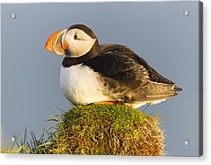 Atlantic Puffin Iceland Acrylic Print by Peer von Wahl