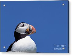 Atlantic Puffin In Breeding Colors Acrylic Print by Yva Momatiuk and John Eastcott