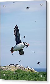Atlantic Puffin In Flight Acrylic Print by Steve Allen/science Photo Library