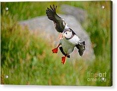 Atlantic Puffin, Incoming.... Acrylic Print