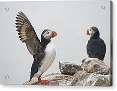 Atlantic Puffin Pair On A Cliff Acrylic Print by Steven Kazlowski