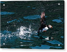 Atlantic Puffin Taking Off Acrylic Print