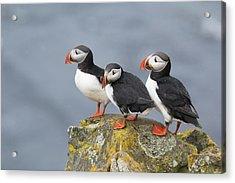 Atlantic Puffin Trio Latrabjarg Iceland Acrylic Print by Bill Coster