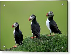 Atlantic Puffin Trio On Cliff Acrylic Print by Cyril Ruoso