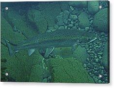 Atlantic Salmon In Hafralonsriver Acrylic Print