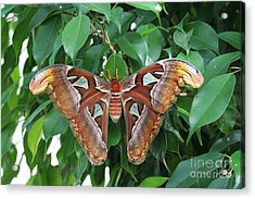 Acrylic Print featuring the photograph Atlas Moth #2 by Judy Whitton