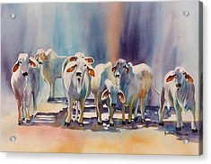 Attention All Ears.  Brahman Bulls Acrylic Print