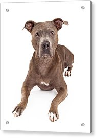 Attentive American Staffordshire Terrier Dog Laying Acrylic Print by Susan Schmitz
