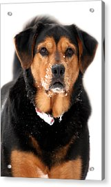 Attentive Labrador Dog Acrylic Print