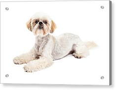 Attentive Maltese And Poodle Mix Dog Laying Acrylic Print by Susan Schmitz
