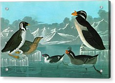 Audubon Auks Acrylic Print by Granger