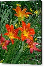 Lilies Galore Acrylic Print