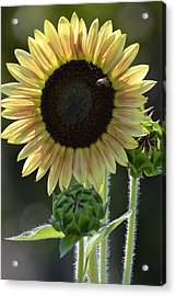 August Sunflower Acrylic Print