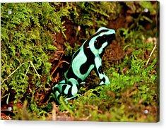 Auratus Dart Frog Dendrobates Auratus Acrylic Print by David Northcott
