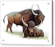 Aurochs Acrylic Print by Michael Long/science Photo Library