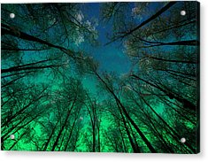 Aurora Glow Through The Birches Acrylic Print