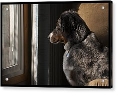 Aussie On Watch Acrylic Print by Ron Roberts