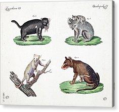 Australasian Marsupials Acrylic Print by Paul D Stewart