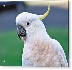 Australian Birds - Cockatoo Acrylic Print