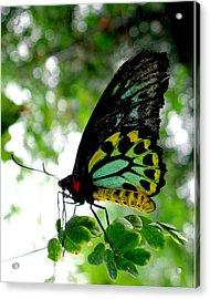 Australian Butterfly Cairns Birdwing Ornithoptera Priamus Acrylic Print by  Andrea Lazar