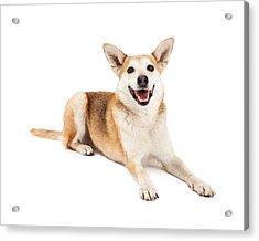 Australian Cattle And Shiba Inu Mix Dog Laying Acrylic Print by Susan Schmitz